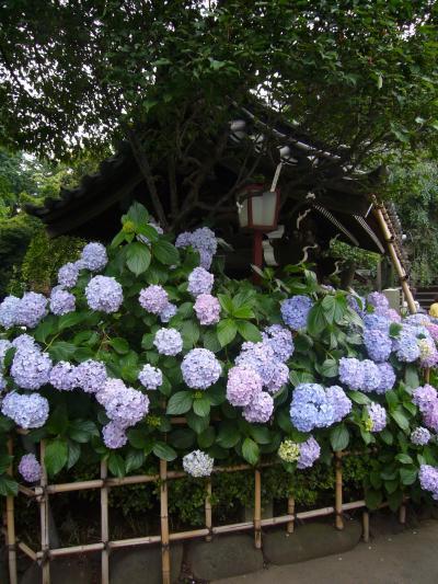 ☆東京散歩・紫陽花咲く白山神社☆