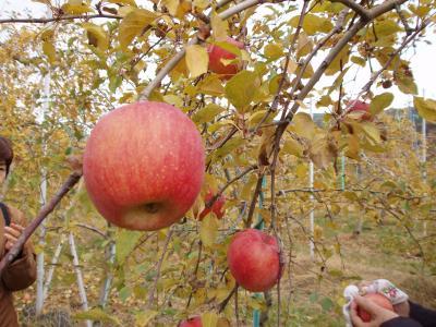 一日1個のりんごは医者知らず
