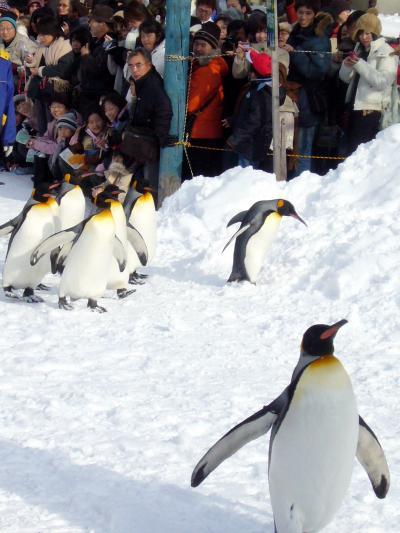 【冬の北海道】ペンギンのお散歩