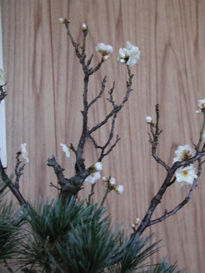 我が家の寄せ植えの梅が開花