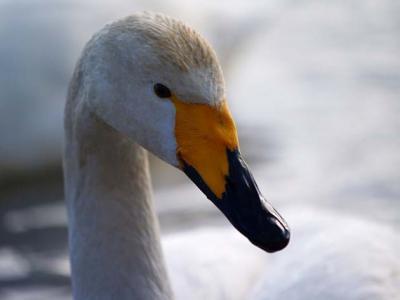 大沼公園白鳥