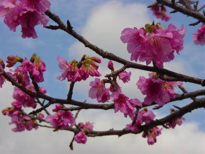 沖縄本部・・・八重岳の寒緋桜まつり