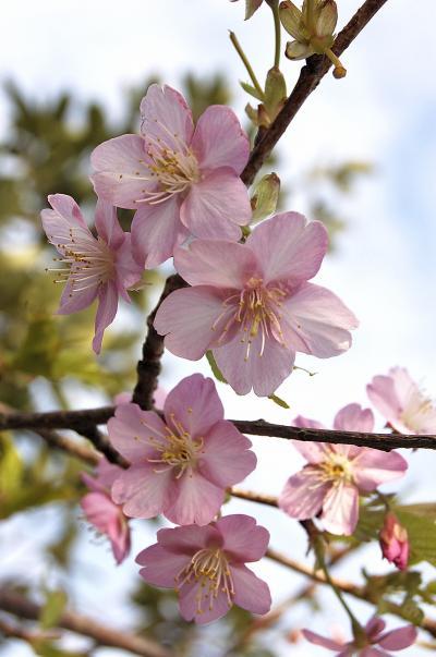 外房勝浦の自然と景色・花 3 「今年1番の桜が咲いた」