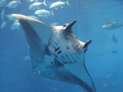 花咲く沖縄へ 沖縄美ら海水族館ー?