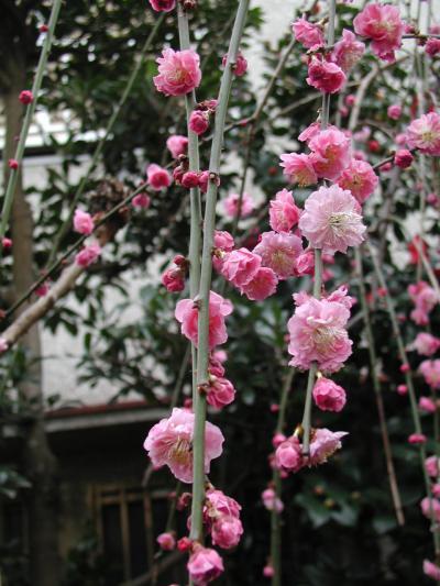 我が家の庭を飾る花たち