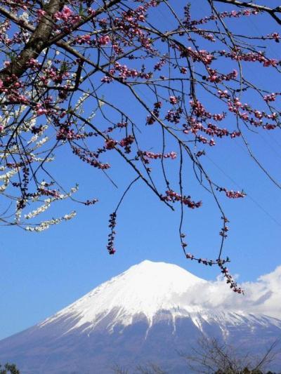 2.岩本山公園の梅と富士山