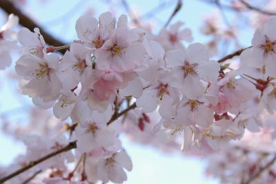 桜咲く春の新宿御苑の爽やかな休日
