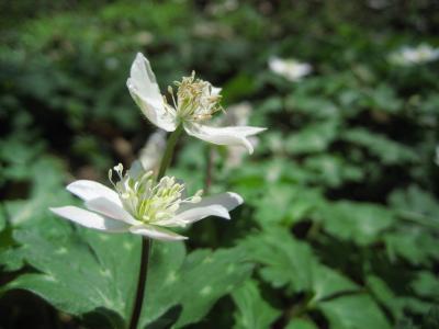 小川町のカタクリの里を訪ねて(2)まだまだプレリュード(カタクリ以外の野山の花)