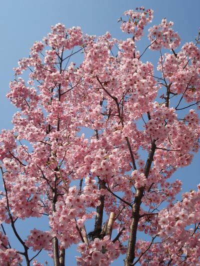 小太郎、桜を愛でる ~四谷・市ヶ谷編~