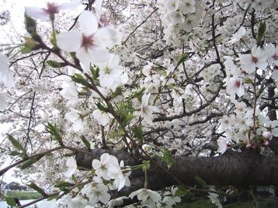 お花見(IN北越谷 元荒川堤)