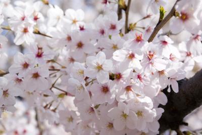 満開の桜桜桜♪