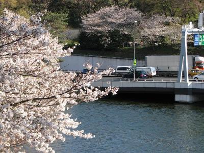 北の丸公園は桜満開ー?