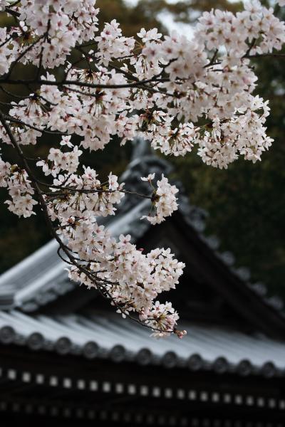 桜と由加山蓮台寺(ゆがさんれんだいじ)