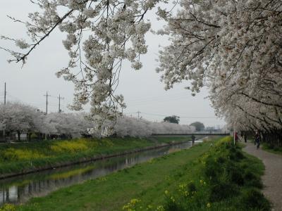 久喜市内の桜の名所と童謡の小道を歩く