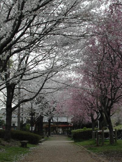 久喜市内の桜の名所・吉羽公園