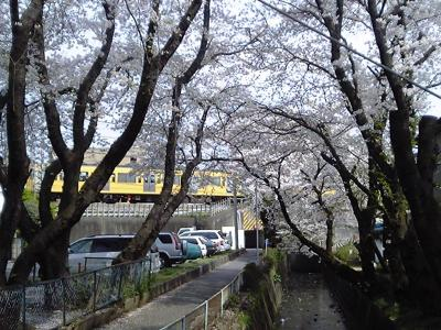 さくらさくら 近所の桜~所沢市