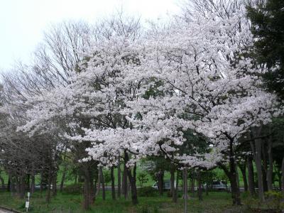 浮間公園の桜まつり
