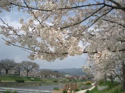 半木の道で桜を楽しみました