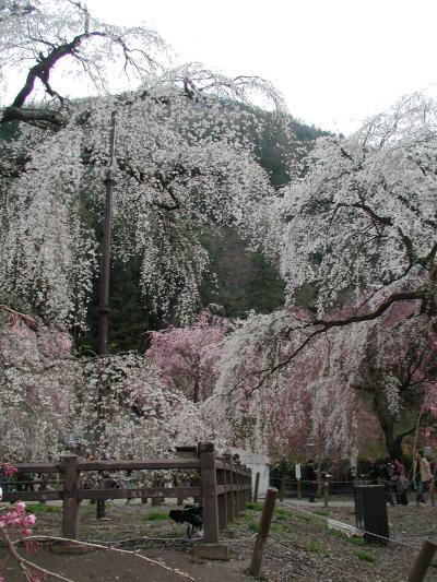 樹齢600年の枝垂れ桜に魅せられて