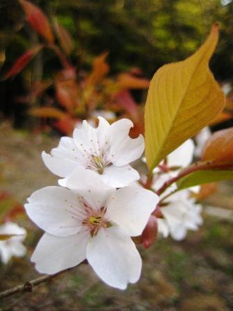 醍醐のお花見