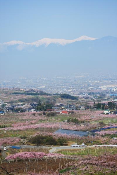 ピンクの絨毯!山梨県笛吹市の素晴らしい満開の桃の花 その1