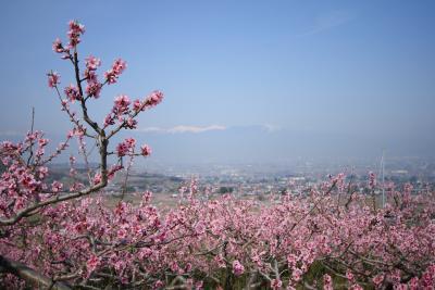 ピンクの絨毯!山梨県笛吹市の素晴らしい満開の桃の花  その2