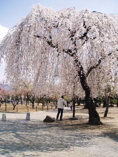 桜咲く松本 別枠:桜特集