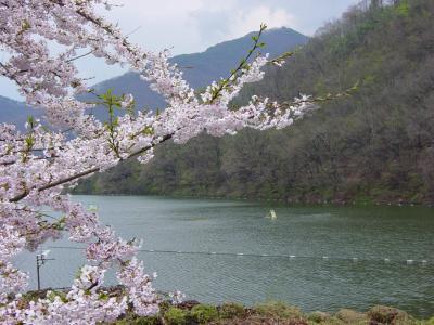 天童公園の観桜