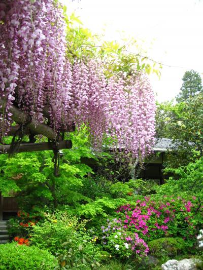 花園 妙心寺塔頭・退蔵院の雅な藤