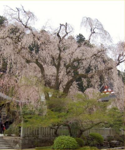 身延のしだれ桜を見に行く
