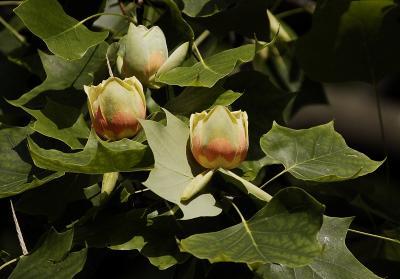 ユリノキの花が綺麗です