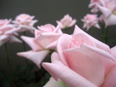 2度目の国際バラとガーデニングショウ(3)バラが撮りたくて行ったんですもの@