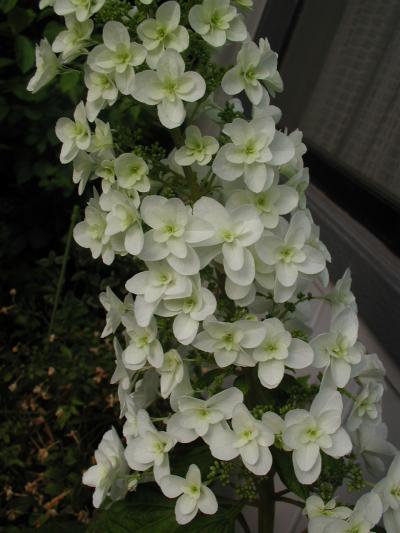 カシワバアジサイが咲きました