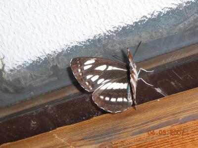 ⑯京丹波町秘密基地 国蝶の おおむらさきが来ました・・・