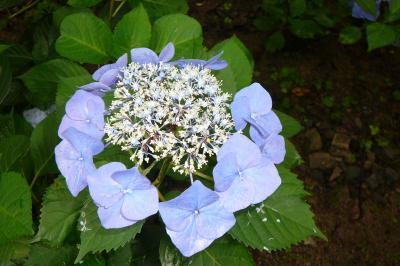 久安寺・関西花の寺の紫陽花