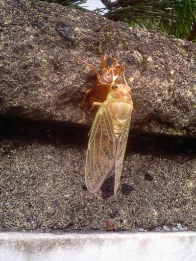 大発見!脱皮したばかりの蝉で~す!・・2006年8月