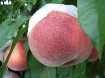 害獣ぷに~た:桃狩り園でのんびり