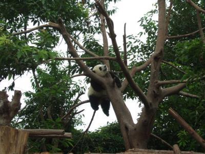 また来ちゃった大熊猫繁育研究基地