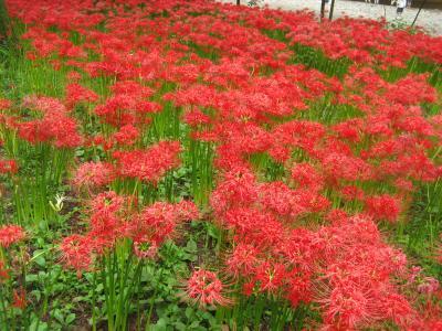 −−【埼玉】暑さも彼岸まで?巾着田の彼岸花
