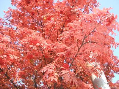 10月下旬、旭川の紅葉