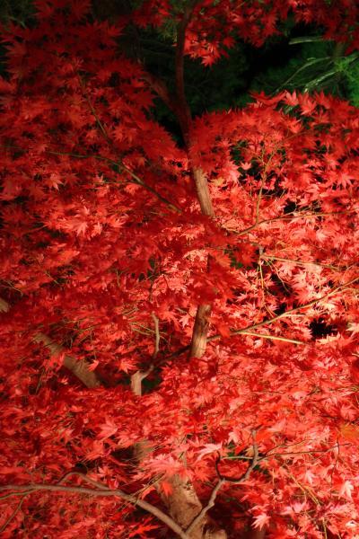 「 松雲山荘の紅葉ライトアップ と 夜のお茶席 」 <新潟県柏崎市>