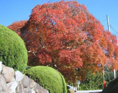 シダレモミジ 樹齢八百年