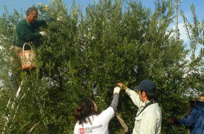 オリーブ植樹07年11月3・4日
