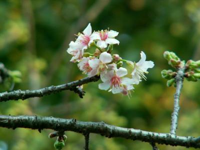 晩秋の桜鑑賞?:12月に咲くヒマラヤ桜を鑑賞しに戸越公園へ