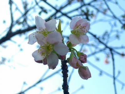 ヒマラヤ桜を見に戸越公園に