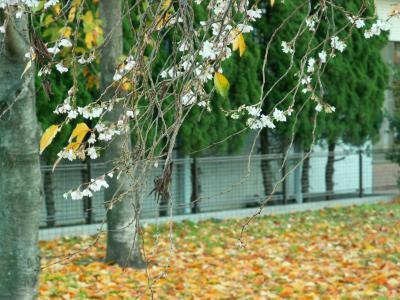 晩秋の桜鑑賞?:十月桜を鑑賞しに足立区江北北部緑道公園へ