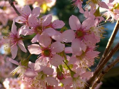 東大のヒマラヤ桜みごろ