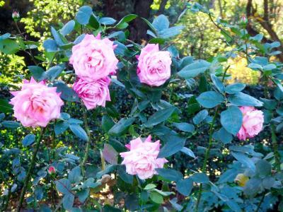 日比谷公園 2007冬 クリスマスシーズンの薔薇