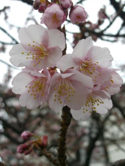 あたみ桜捜し求めてうろちょろ