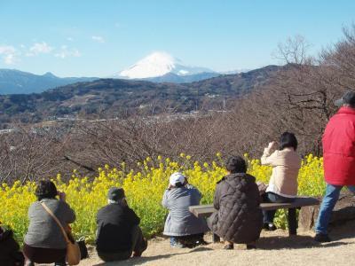 一足早い春!!もう菜の花が見頃。二宮町吾妻山の360度の展望を楽しんで!!